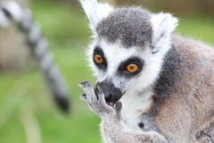A lemur. A grey lemur eating from his hand Royalty Free Stock Image