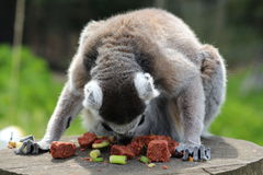 A lemur. A grey lemur eating off the table Royalty Free Stock Photography