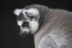 Lemur. Grey lemur portrait royalty free stock images