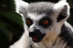 A lemur. A grey lemur staring with its mouth open Royalty Free Stock Photography