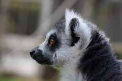 A lemur. A grey lemur staring sideways Royalty Free Stock Photo