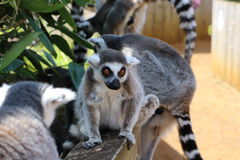 A lemur. A grey lemur on a wall Royalty Free Stock Image