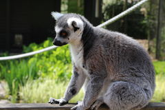 A lemur. A grey lemur on a wall Royalty Free Stock Images