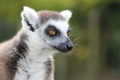 A lemur. A grey lemur on a wall Stock Images