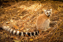 Lemur on the ground Stock Photo