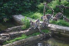 Lemur Group at Zoo Stock Image