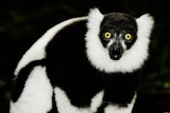 Lemur hérissé (Varecia Variegata) Images libres de droits