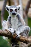 Lemur. Had a relax time in London zoo stock photos