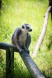 Lemur in Haifa Zoo. Israel Stock Images