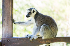 Lemur in Haifa Zoo. Israel Royalty Free Stock Photography