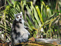 Lemur Hates Its Food Royalty Free Stock Photos