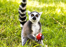 Lemur having apple lunch Royalty Free Stock Image