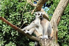Lemur having rest on branch. Lemur sitting on branch of a tree in front of green bush and having rest Stock Photo