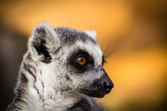 Lemur Head Shot. Head shot of a Lemur with black and white fur Royalty Free Stock Photography