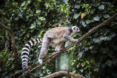 Lemur. Royalty Free Stock Photo