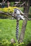 Lemur. Royalty Free Stock Images