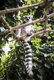 Lemur. Stock Photo