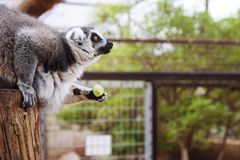 The lemur holds the grapes. Lemur as a profile. The lemur holds the grapes. lemur in the contact zoo in Tenerife. Monkey lemur. monkey park Royalty Free Stock Photos