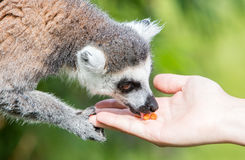 Lemur with human hand - Selective focus Royalty Free Stock Images