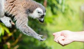 Lemur with human hand - Selective focus Stock Photo