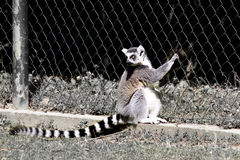 Lemur i fångenskap Fotografering för Bildbyråer