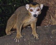 Lemur incoronato Fotografie Stock