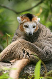 Lemur incoronato (coronatus di Eulemur) Immagini Stock Libere da Diritti