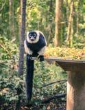 Lemur increspato Immagine Stock
