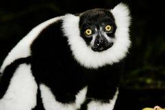 Lemur increspato (Varecia Variegata) Immagini Stock