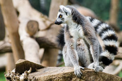 Lemur inside Rome's Biopark Royalty Free Stock Photos