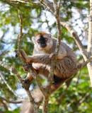Lemur Stock Image