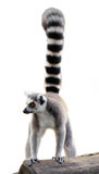 Lemur isolated. Lemur monkey standing isolated on white background Royalty Free Stock Photos