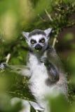 Lemur je leef wśród gałąź Obrazy Stock