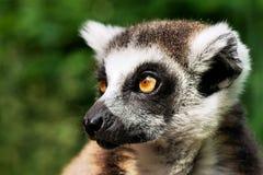 Lemur Kat Obraz Stock
