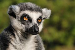 Lemur kata Royalty Free Stock Photo