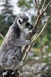 Lemur Kata Stock Image
