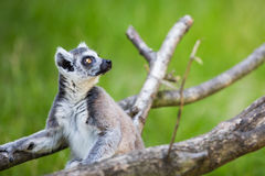 Lemur kata Royalty Free Stock Image