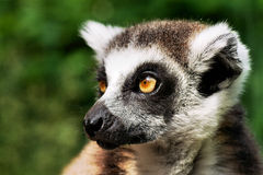 Lemur Kata Fotografering för Bildbyråer
