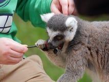 Lemur kata eat candy Royalty Free Stock Photos
