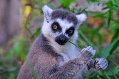 Lemur kata Royalty Free Stock Images