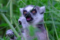 Lemur kata Stock Photo