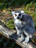Lemur Kata i ZOO Arkivfoton