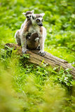 Lemur kata (Lemur catta) Royalty Free Stock Photography