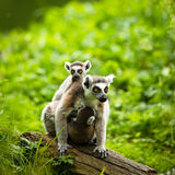 Lemur kata (Lemur catta) Royalty Free Stock Photo