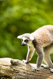 Lemur kata (Lemur catta) Stock Photography