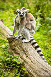 Lemur kata (Lemur catta) Royalty Free Stock Images