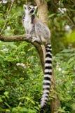 Lemur kata sitting on branch in bushy vegetation Stock Images