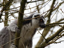 Lemur kata in the tree Stock Images