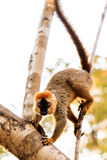 Lemur Kirindy. The red-fronted lemur (Eulemur rufifrons), also known as the red-fronted brown lemur in the Kirindy Mitea National Park, in Madagascar Royalty Free Stock Photo