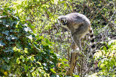 Lemur on a klick in the middle of the jungle. Royalty Free Stock Images